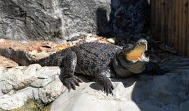 Crocodile Open mouth. Sunbathe in farm Stock Image