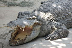 Crocodile with open mouth. Thermoregulation reptiles Stock Photos