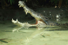 Crocodile open mouth in water Stock Image
