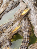 Crocodile with an open mouth. In zoo Royalty Free Stock Images