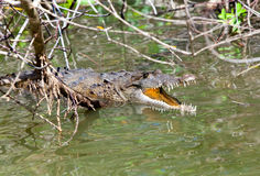 Crocodile with the opened mouth. The Black river,. Jamaica Royalty Free Stock Photography