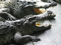 The crocodile is opening its mouth at the crocodile farm in Thai stock images