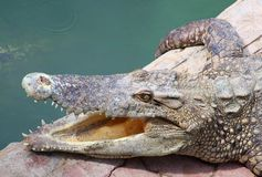 The crocodile opening the mount for release the he Royalty Free Stock Photography