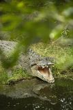 Crocodile opening mouth. Stock Images