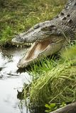 Crocodile opening mouth. Stock Photos