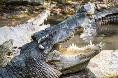 Crocodile opening the mouth laying on the rock in the lake Stock Images