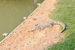 Crocodile opening the mouth resting on the grass Stock Photos