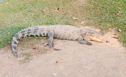 Crocodile opening the mouth resting on the grass Stock Photography