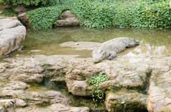 Crocodile opening the mouth resting on the grass Royalty Free Stock Photos