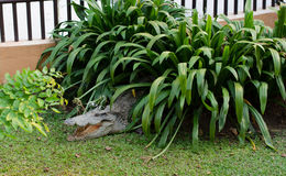 Crocodile opening the mouth resting on the grass Stock Images
