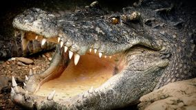 Crocodile Opens Mouth
