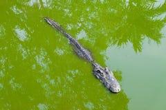 Crocodile ou alligator dans l'eau sale verte pour le backg animal Image libre de droits
