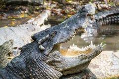 Crocodile ouvrant la bouche s'étendant sur la roche dans le lac images stock