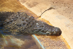 Crocodile in park at Tenerife Canary Royalty Free Stock Photo