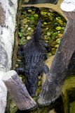 The crocodile park in Thailand. Crocodiles swim in water. The top view stock photo