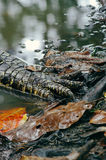 Crocodile paw closeup. Borneo rain forest Stock Photography