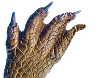 Crocodile Paw. Natural Crocodile Paw close up Stock Images