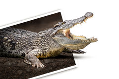 Crocodile in photo Royalty Free Stock Images