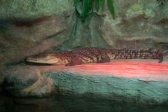 Crocodile. This picture shows a crocodile that lives in captivity Stock Photos