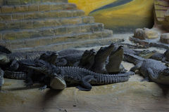 Crocodile. This picture shows a crocodile that lives in captivity Stock Images