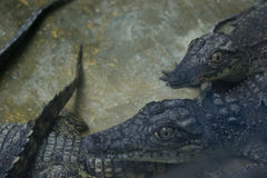 Crocodile. This picture shows a crocodile that lives in captivity Stock Image