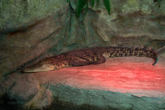 Crocodile. This picture shows a crocodile that lives in captivity Stock Photo