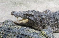 Crocodiles In the Farm , Zoo Thailand royalty free stock photo