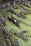 The crocodile in pond is swimming Royalty Free Stock Photos