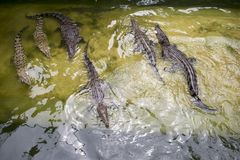 The crocodile in pond is swimming Royalty Free Stock Photography