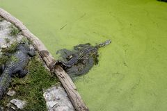 The crocodile in pond is swimming Stock Images