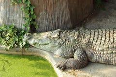 Crocodile. Pond in Thailand royalty free illustration