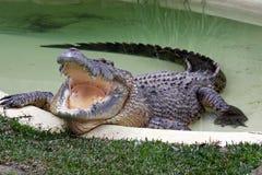 Crocodile Pool. Stock Photography