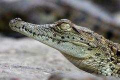 Crocodile Portrait Stock Photo