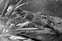 Crocodile portrait Royalty Free Stock Photography