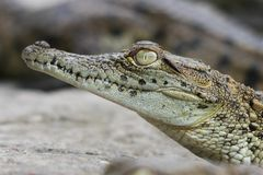 Crocodile Portrait Royalty Free Stock Images