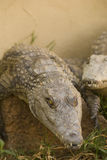 Crocodile. Portrait showing off the animals teath and scales Royalty Free Stock Photos