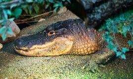 Crocodile portrait in Tropicarium Royalty Free Stock Photography