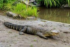Crocodile près de l'eau Photographie stock libre de droits