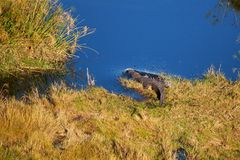 Crocodile. Predator bush  africa tanzania grass savannah allegator river Royalty Free Stock Photos
