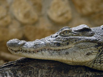Crocodile profile. Crocodile lying on a piece of wood in a wildlife park in the state of Attica, Greece Stock Image