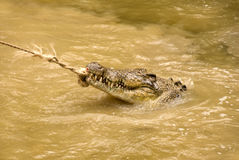 Crocodile Pulling on a Rope. In muddy water Stock Images