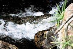 Crocodile qu'elle a regardé hors de l'eau Image stock