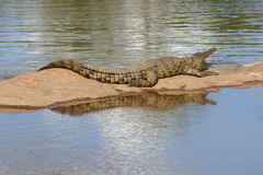 Crocodile reflection Stock Image