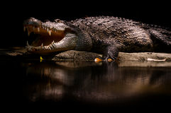 Crocodile Reflection. Resting huge crocodile in a zoo Stock Photos
