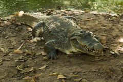 A crocodile basks in the heat of Gambia, West Africa Stock Image