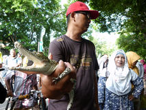 Crocodile. Reptile lovers to introduce Crocodile  to the public in a public open space in the city of Solo, Central Java, Indonesia Royalty Free Stock Photos