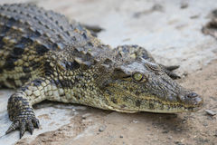 Crocodile Reptle Portrait Royalty Free Stock Images