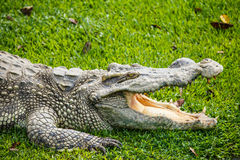 Crocodile. The rest of the crocodile Stock Images