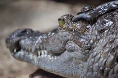 Crocodile at rest. A resting crocodile Royalty Free Stock Images
