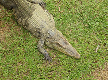 Crocodile resting Stock Image
